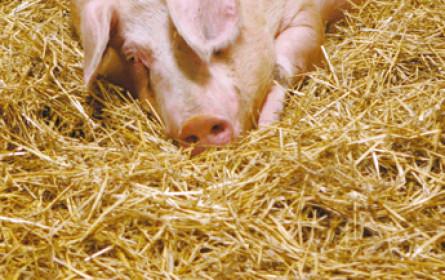 Wohlfühlklima im Schweinestall
