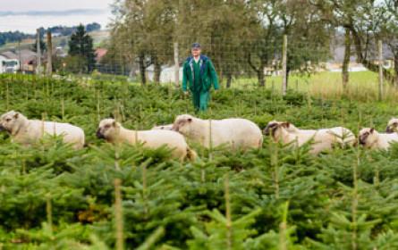 Schafe als Christbaumhirten