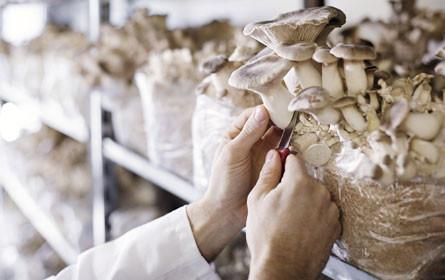 Neuburger mit Patent für Pilzverarbeitung
