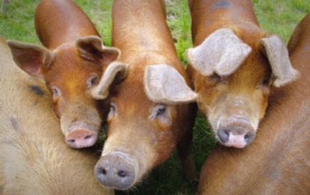 Edles Duroc Schwein aus der Steiermark