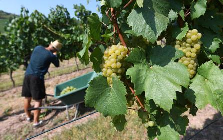 Früheste Weinlese aller Zeiten bringt 3,2 Mio. Hektoliter