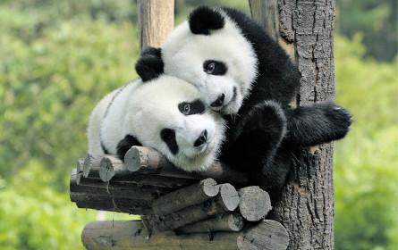Pandabär in Lederhosen