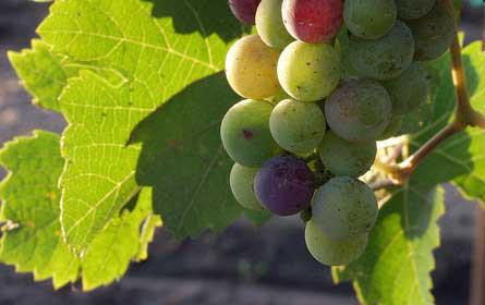 Amerikaner bevorzugen heimischen Wein