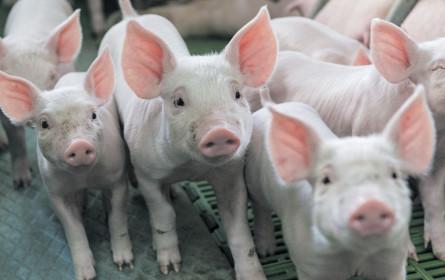 Coronakrise bringt Schweine-Erzeugerpreis wieder zum schmelzen