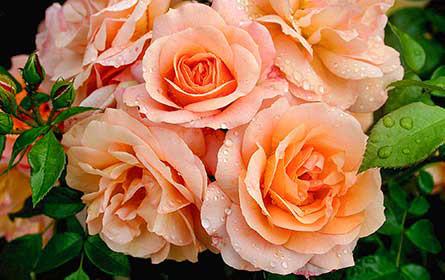 bellaflora: Duftende Pflanzengrüsse zum Muttertag auf der Beliebtheitsskale ganz oben