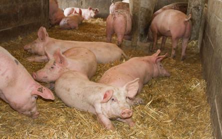 Heute ist der Tag des Schweins: Wie werden Österreichs Schweine gehalten?