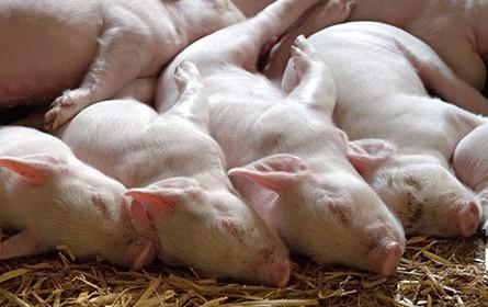 Spar unterstützt AMA-Plan für eine Mio. Schweine aus Tierwohl-Haltung