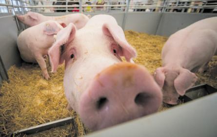 Schweinemäster stehen unter Preisdruck