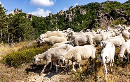 In der Wachau sind die Schafe los