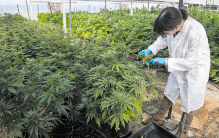 Stada macht in Cannabis