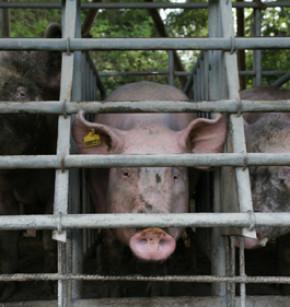 Afrikanische Schweinepest in Tschechien von Schweinen wird eingeschränkt