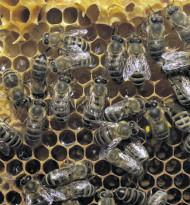 Robotik – wie die Bienchen