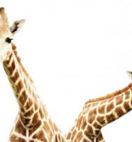 Was wir vom Hals der Giraffen lernen können