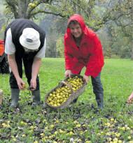 Zu ergiebige Apfelernte?