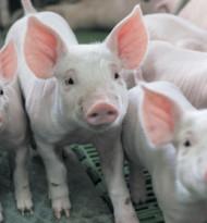 Tierschutz-Kritik an Gütesiegel für heimische Schweinehaltung