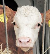 Qualitätsoffensive für Kalbfleisch